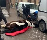 Kraków. Koń padł w centrum. Dziwne zachowanie woźnicy [ZDJĘCIA, WIDEO]