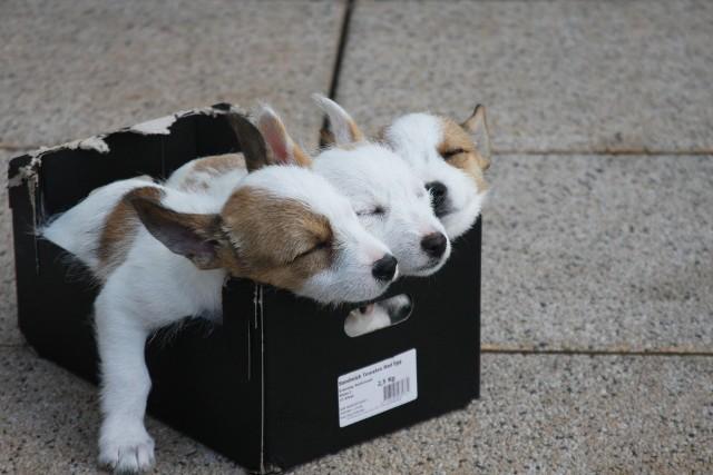 Zastanawialiście się nad zakupem rasowego psa? Wbrew pozorom nie jest to taka droga inwestycja! Ceny najdroższych psów wahają się od kilku do kilkudziesięciu tysięcy złotych, choć cena psa znajdującego się na podium może zaskoczyć i zszokować. W galerii przedstawiamy ceny najdroższych ras psów - wszystkie pochodzą z polskich portali sprzedażowych.  Zobacz na kolejnych slajdach, posługując się klawiszami strzałek, myszką lub gestami >>>ZOBACZ NAJDROŻSZE PSY >>>