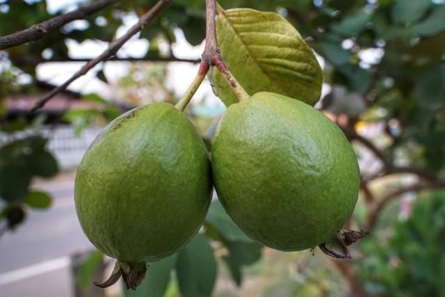 GujawaGujawa na pierwszy rzut oka przypomina gruszkę, chociaż niektórzy przekonują, że wygląda ona jak niedojrzała cytryna.