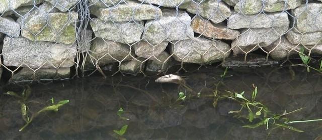 Martwe ryby w sławskiej Czernicy można było zobaczyć jeszcze na drugi dzień. Strażnicy naliczyli ich kilkaset sztuk.