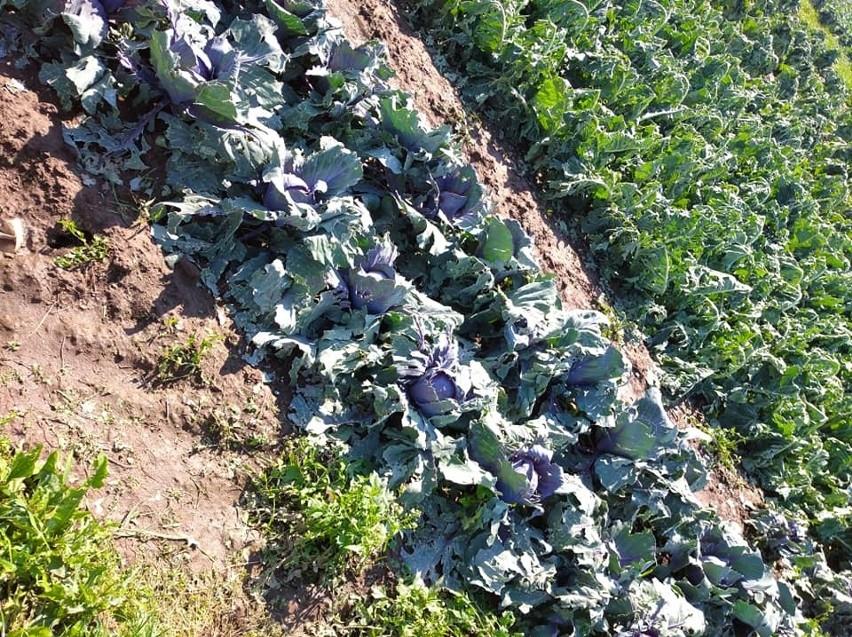 Zniszczone gradobiciem uprawy warzyw w gminie...