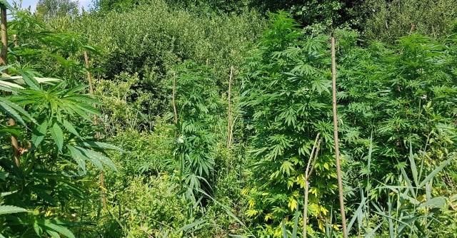 Policjanci zlikwidowali plantację za ponad pół mln zł. Uprawą i nielegalną sprzedażą narkotyków pod Kolnem i Piszem zajmowali się bracia