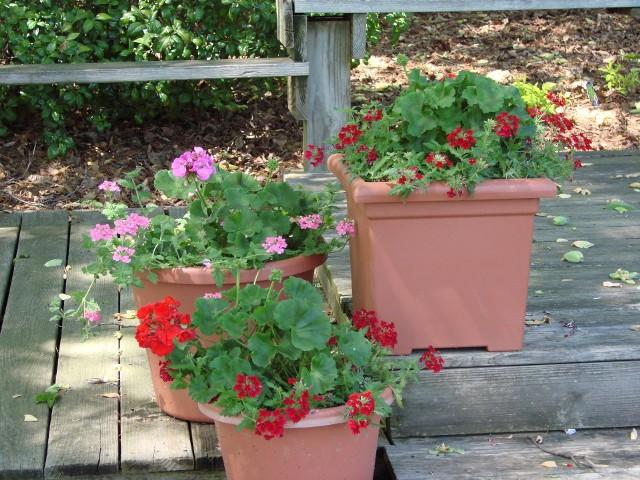 PelargonieDonice i skrzynki z pelargonią warto przenieść w jasne i chłodne miejsce, przyciąć i pozwolić im na odpoczynek zimowy. Przesadzone w świeżą ziemię wiosną zakwitną jeszcze piękniej.