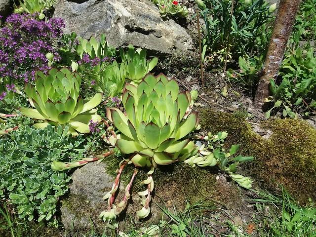 Przydomowy skalniakNa skalniakach zawsze pięknie wyglądają różne odmiany rojników. Kliknij w zdjęcie i zobacz galerię roślin na skalniaki.