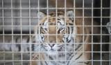 Ostatnie zwierzęta z hodowli w Pyszącej zostały zabrane. Trzy tygrysy i lampart trafiły na Słowację