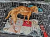 """Bobik z Torunia: """"Na ratunek dla tego psa było już za późno…"""" Sprawą zajmuje się prokuratura"""