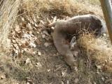Masakra hodowli danieli. Psy zagryzły ciężarne łanie (zdjęcia)