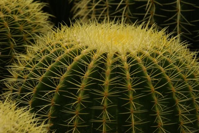 Jego charakterystyczną cechą są żółte ciernie oraz… potoczna nazwa. Nie są zbyt wysokie. Jeden z większych okazów we wrocławskim Ogrodzie Botanicznym, zasadzony w 1963 roku, nie przekroczył metra wysokości. Jest to gatunek zagrożony. Naprawdę nazywa się Echinocactus grusonii.