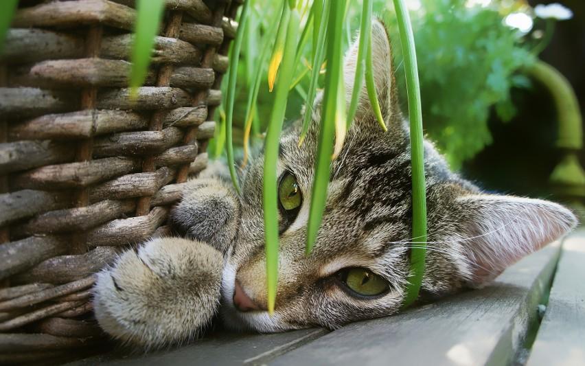 """Niestety większość roślin doniczkowych jest niebezpieczna dla kotów. Są jednak również takie, które można uprawiać bez obaw o zdrowie """"kotełka""""."""