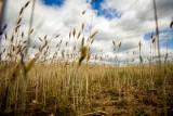 Czwarty raport o suszy: Według IUNG w woj. podlaskim susza zagraża zbożom, ale kukurydzy jeszcze nie