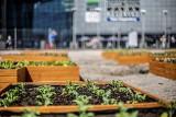 Plono-branie w Miejskiej Farmie w Galerii Katowickiej 29 sierpnia. Można będzie otrzymać warzywa i nasiona