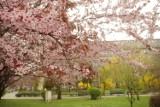 Katowice: miasto kwitnących wiśni. Wiosna 2016. Park Kościuszki, plac Grunwaldzki, Dolina 3 Stawów