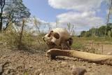 Suraż. Ludzkie kości leżą przy magistracie