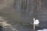 Soła w Oświęcimiu zaczyna zamarzać. Łabędzie i kaczki pływają w półpłynnej jeszcze krze