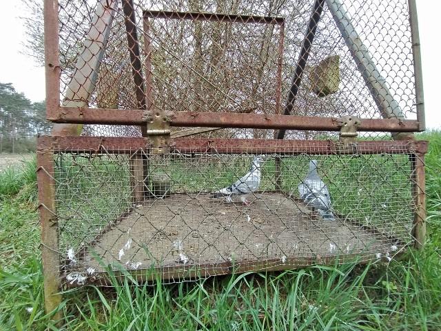 Pod Toruniem ktoś zastawił pułapkę na młode jastrzębie. Do wnętrza wsadził... dwa żywe gołębie