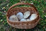 Czubajka kania – jak wygląda ten grzyb i czym się różni od muchomora sromotnikowego. Przepisy na kanie