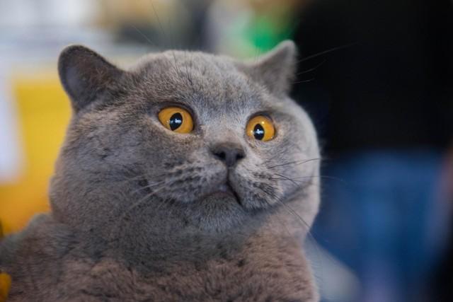 """Wiedzieliście, że koty przynoszą szczęście? Oczywiście nie te, które są czarne albo bure. Na widok tych ostatnich trzeba splunąć trzy razy za siebie... Madeline Swan w książce """"Historia kotów"""" zdradza tajemnice tych zwierząt. Sprawdźcie, co kryją w sobie koty, przeglądając naszą galerię z ciekawostkami."""