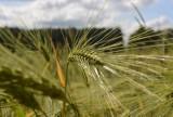 Rolniku, jesteś poszkodowany przez suszę? Możesz dostać wsparcie