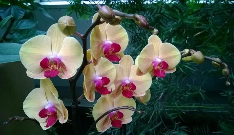 Amatorską uprawę najlepiej zacząć od Phalaenopsisów, które są przystosowane do warunków panujących w mieszkaniach.