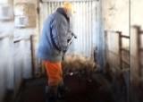 Gmina Barwice: Brutalne zabijanie świń w ubojni [+18] Zwierzęta umierały od uderzeń młotkiem [ZDJĘCIA]