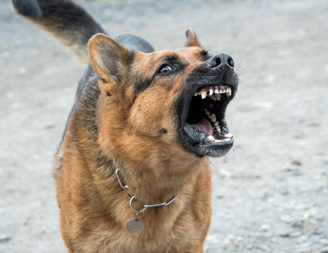 Psy pogryzły człowieka w Łagiewnikach w Łodzi w niedzielę (2 lutego). Policja potwierdza, że trzy agresywne czworonogi zaatakowały przy ul. Kasztelańskiej - w rejonie Skrzydlatej i Jastrzębiej.CZYTAJ WIĘCEJ >>>>
