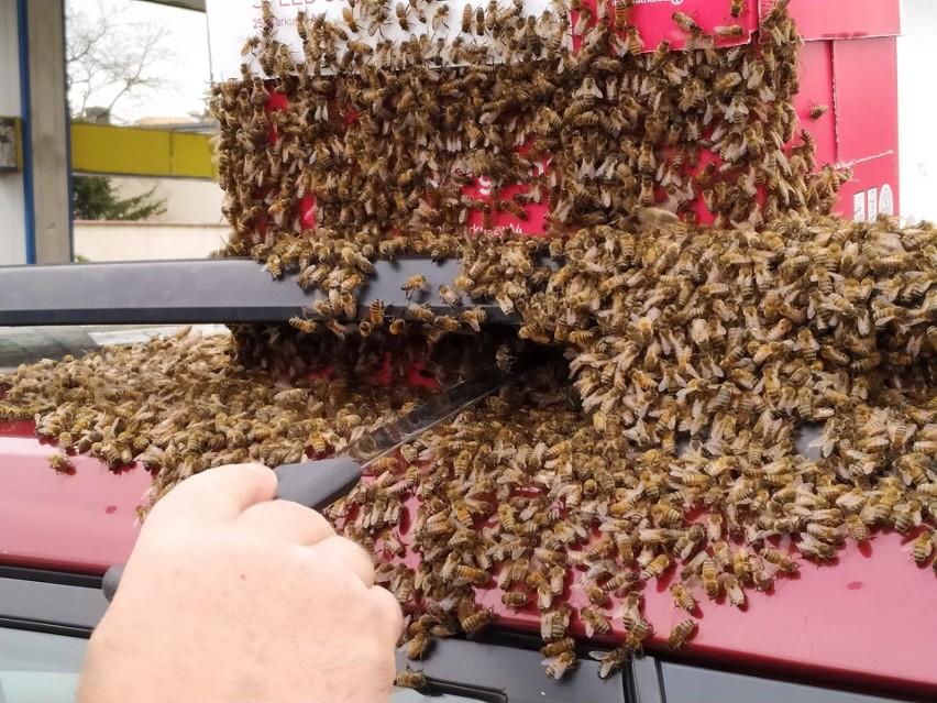 Starosta Franciszek Gutowski poradził sobie z rojem pszczół,...
