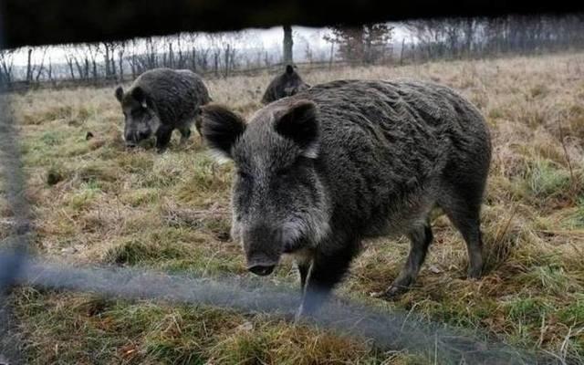 Niemcy próbują się bronić przed dzikami z Polski, które mogą przenosić ASF. Mobilne ogrodzenie montowane w zeszłym roku to za mało. Teraz ma zostać postawiony stały płot.