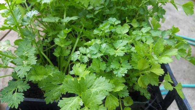 Zielona kolendraŚwieża, zielona kolendra przypomina natkę pietruszki - i tak samo, jak ona, jest zdrowa. Pamiętajmy, że świeże liście kolendry przy długim gotowaniu traci kolor i smak. Dlatego należy dodawać je do potraw pod sam koniec przygotowywania.