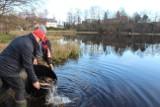 Ryby mają głos. Karpie i liny trafiły do jezior i stawów [ZDJĘCIA]