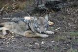 Młoda wilczyca Jaga nie żyje. Znaleźli ją naukowcy na terenie Nadleśnictwa Suchedniów