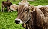 Tyle dostają za żywiec wołowy rolnicy z Kujaw i Pomorza. Stawki z kwietnia 2021