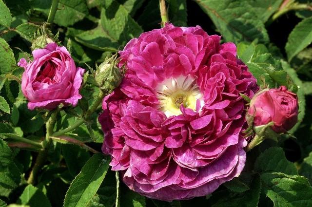 Charles de MillsStare gatunki róż są piękne i mają wiele zalet. Na zdjęciu róża Charles de Mills
