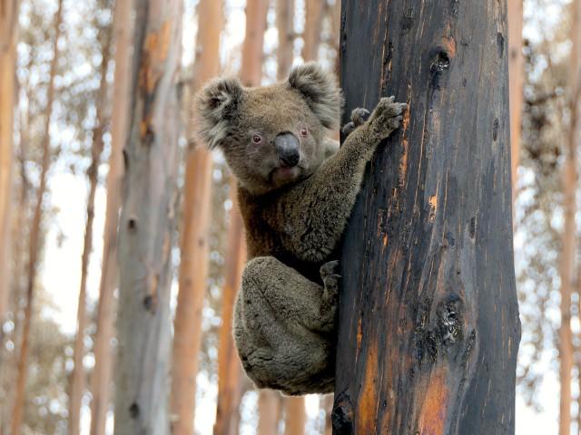 Straszne liczby: Pożary w Australii spowodowały śmierć miliardów ssaków, gadów, płazów i ptaków. Spaleniu uległo 11,46 mln ha kontynentu