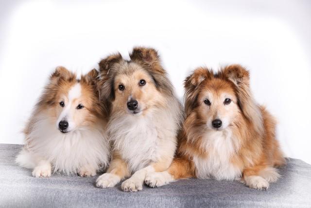 Owczarek szkocki - idealny pies do towarzystwa. Mają umiarkowany temperament, są wrażliwe, lojalne i oddane swoim bliskim.