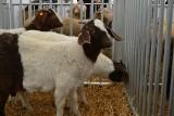 Ile trzeba mieć kóz, żeby dostać do nich dopłatę? ARiMR wyjaśnia