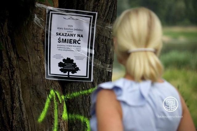 100-letni kasztan jadalny przy moście w Krośnie Odrzańskim został przeznaczony do wycięcia.