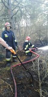 Pożar lasu w Helu (24.06.2019). Ponad 5 godzin gasiły go straże z Helu, Jastarni, Gnieżdżewa, Jastrzębiej Góry i Pucka [zdjęcia]