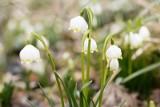 Śnieżyca w końcu zakwitła. Rezerwat Śnieżycowy Jar czeka na turystów w weekend
