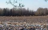 Nowosady. Stado żubrów wyszło na pole
