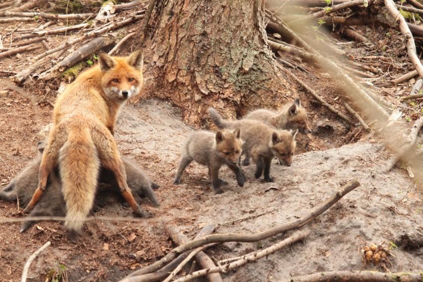 Przyrodniczy ewenement w lasach Nadleśnictwa Warcino. Samica lisa urodziła 12 szczeniąt
