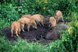 Dziki w Toruniu. Ile już odstrzelono? Oto najnowsze dane