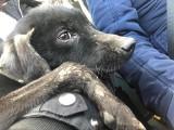 Przywiązany do drzewa, zagłodzony prawie na śmierć. Uratowany pies dostał na imię Covi