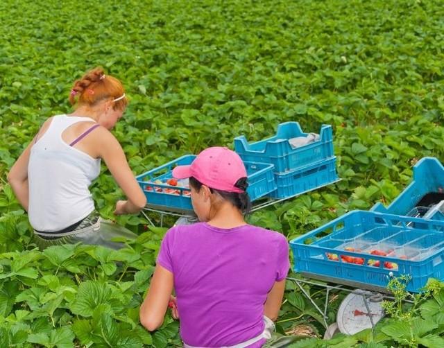 Szukam do zbioru owoców/warzyw - takie propozycje można spotkać w internecie czy choćby na slupach ogłoszeniowych.