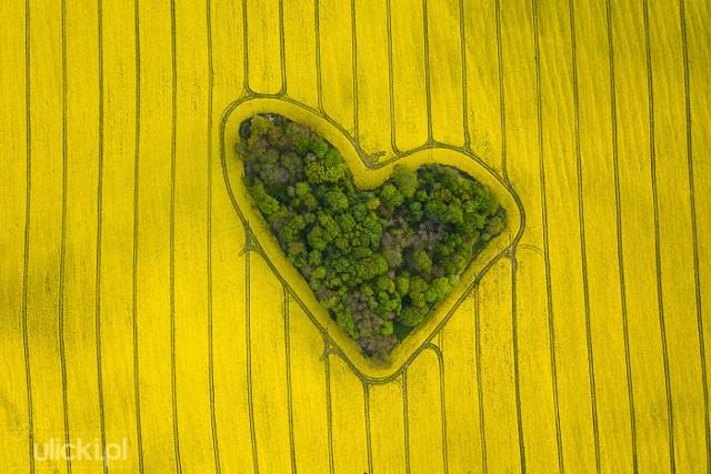 Zagajnik na tle pól kwitnącego rzepaku. To zdjęcie przyniosło Ulickiemu popularność w sieci