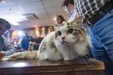 Poznań: Ponad 300 czworonogów na Wystawie Kotów Rasowych [ZDJĘCIA]