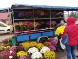 Podlaska ARiMR odkupiła od hodowców i sprzedawców prawie 76 tys. doniczek chryzantem (zdjęcia)
