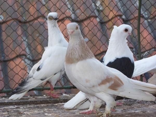 Na wystawie zaprezentowanych zostanie około 50 ras gołębi różnych odmian i kolorów.