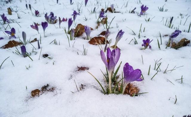 Czekacie już na wiosnę? Ta kalendarzowa zaczyna się jutro. Tymczasem dziś od godziny 21 do soboty do godziny 11.30 na sporym obszarze Dolnego Śląska obowiązuje ostrzeżenie meteorologiczne wydane przez IMGW. Czego dotyczy? Intensywnych opadów śniegu! Ale od soboty dołączy do niego kolejne ostrzeżenie. Będzie dotyczyło przymrozków. Do tego w górach mocno powieje, co spowoduje, że odczuwalna temperatura będzie ekstremalna jak na pierwszy dzień wiosny... CZYTAJ WIĘCEJ O OSTRZEŻENIACH I PROGNOZIE - PRZEJDŹ DO KOLEJNEGO SLAJDU PRZY POMOCY STRZAŁEK LUB GESTÓW NA TELEFONIE KOMÓRKOWYM.