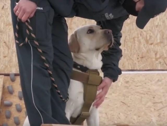 Labrador Sony, służbowy pies Pomorskiego Urzędu Celno-Skarbowego w Gdyni ze swoim przewodnikiem. Zwierzę będzie potrafiło wykryć w kilka sekund osobę zakażoną koronawirusem.