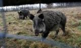 Dziki w Gorzowie coraz bardziej się panoszą. Winni są sami mieszkańcy, którzy traktują je jak maskotki